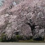 新宿御苑でお花見について3