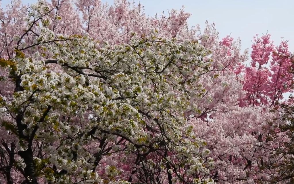 新宿御苑の桜園地について