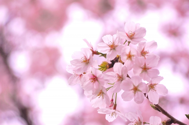 桜の開花写真