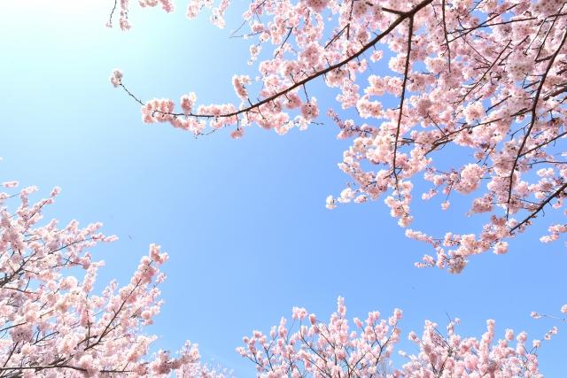 桜の開花時期