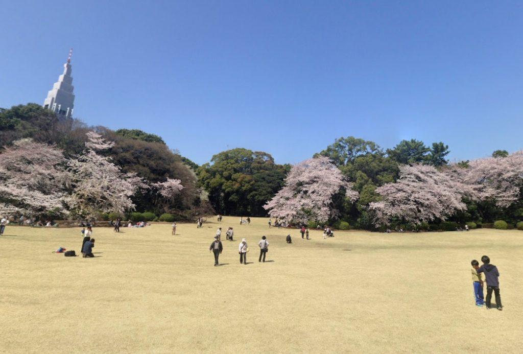桜新宿御苑の芝生広場での